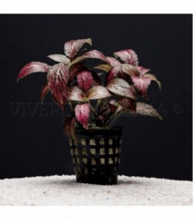 FITTONIA FORREST FLAME