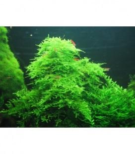 MUSGO TAIWAN MOSS (Taxiphyllum alternans)