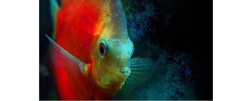 8 consejos para el cuidado del pez disco