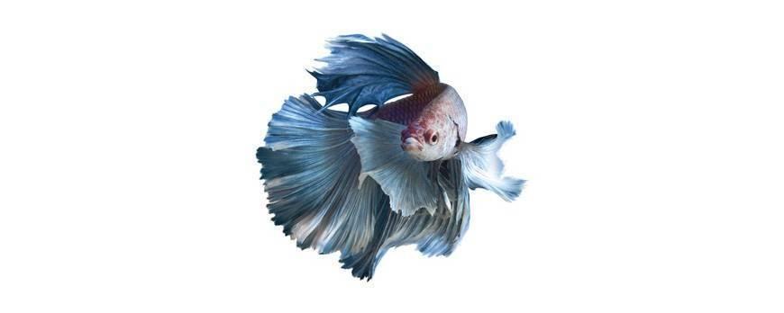 El cuidado de los peces betta blog tiendacuarios for Cuidado de peces