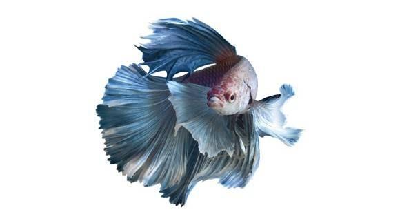 El cuidado de los peces betta