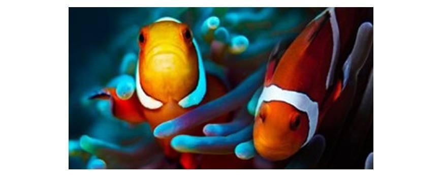 Pez payaso, el pez más popular en acuarios marinos